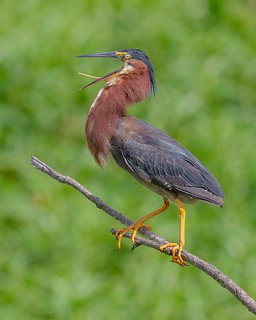 Green heron cooling off on a hot day in Central Florida