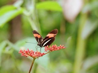 BORBOLETAS Eresia lansdorfi Família: Ninfalídeos/Nymphalinae