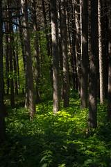 Near Iona's Beach 20180705-DSC07827 (Rocks and Waters) Tags: greatlakes ionasbeach lakesuperior northshore trees woods green sun sunlight lightandshadow chiaruscuro sonylapha a7r2