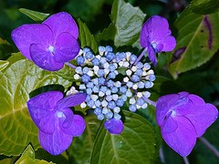 Hortensia plat (Marvinette (passe en free)) Tags: flore fleur fleurs flower flowers france jardin garden plant summer été smartphone nuit night nature limousin hautevienne aimezvouslesfleurs androïd macro mauve purple bleu blue hortensia