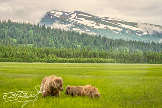 Grassing bears