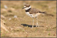 Young Killdeer 6577 (maguire33@verizon.net) Tags: charadriusvociferus frankgbonelliregionalpark killdeer plover bird wildlife sandimas california unitedstates us