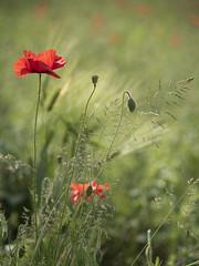 Un petit tour dans les champs * (Titole) Tags: coquelicot grass bud seedpod titole nicolefaton