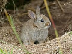 Baby Bunny (chdphd) Tags: stonehaven aberdeenshire kincardineshire oryctolaguscuniculus oryctolagus rabbit bunny