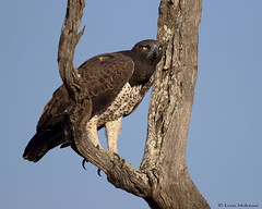 Martial Eagle (leendert3) Tags: leonmolenaar southafrica krugernationalpark wildlife nature birds martialeagle coth5 naturethroughthelens ngc npc