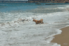 1-imageedit_6_6052150774 (adamsshawn390) Tags: dog malibu
