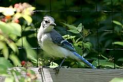 Blue Jay 1807125868w (gparet) Tags: nature outdoor outdoors scenic vista naturephotography bird garden