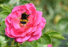 Weekend Rose with Friend (Eleanor (No multiple invites please)) Tags: rose pinkrose whitetailedbumblebee garden stanmore uk nikond7200 105mmmacrolens july2018 coth5