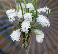 Capanemia uliginosa species orchid (nolehace) Tags: spring nolehace sanfrancisco fz1000 618 capanemia uliginosa species orchid fragrant plant bloom flower