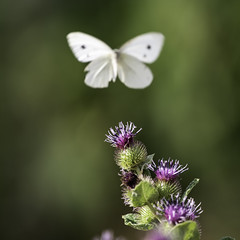 Just a whisper {Explore} (ZeGaby) Tags: bokeh butterfly fleurs flowers naturephotography papillon pentaxda300mm pentaxk1 avenayvaldor grandest france fr explore