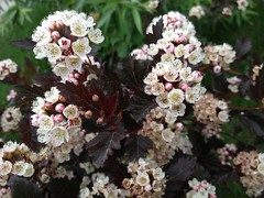 Spring Gardening YYC (Mr. Happy Face - Peace :)) Tags: pretty art2018 floral garden alberta canada calgary nature growth goodness flowers spring yyc flowering bush