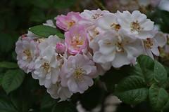 1477-31L (Lozarithm) Tags: melksham wilts flora flowers pentax k5 sigma zoom 70300 sigmaaf70300mmf456apodgmacro macro