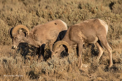 Bighorn Sheep (Lindell Dillon) Tags: bighornsheep nature wildlife taos newmexico