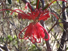 Grevillea speciosa (Red spider flower) (MikeMalaska) Tags: wildflower kuringgaichasenationalpark newsouthwales australia grevillea spiderflower