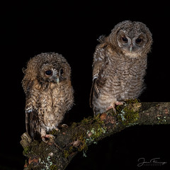 Tawny Owlets (Mr F1) Tags: wild tawny owls owlets strixaluco johnfanning nightphotography nature wildlife outdoors runt brood fluffy young eyes feathers talons