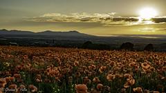 poppies (Graham S Paton) Tags: wwo i
