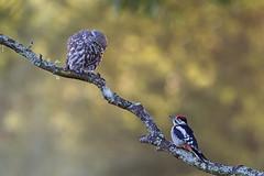 Great Spotted Woodpecker & Little Owl (phil winter) Tags: greatspottedwoodpecker dendrocopusmajor littleowl athenenoctua earlymorning confrontation