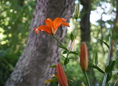 DSC08918 (Old Lenses New Camera) Tags: sony a7r minolta chiyoko rokkor telerokkor 11cm 110mm f56 plants garden flowers lilies daylily