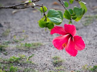Bora Bora Hibiscus