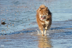 beach baby 27/52 (sure2talk) Tags: beachbaby tasku finnishlapphund beach action sea motion running splash joy happy reflection water dogdaysofsummer tivasbirthdaybeachbash nikond7000 nikkor70300mmf4556afsifedvr we872018 52weeksfordogs 2752 evening steamerpoint studio26