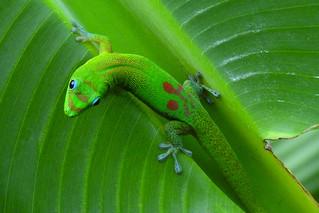 Kailua - Gecko on Bananaleaf