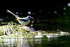 bergeronnette es ruisseaux ( Motacilla cinerea ) Brech 180620p2 (papé alain) Tags: oiseaux passereaux motacillidés bergeronnettedesruisseaux motacillacinerea greywagtail brech bretagne france