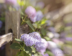 hydrangea fence friday (LanaScape Photos) Tags: typical alt fencefriday happyfencefriday fence hff southhaven michigan flowers hydrangeas lensbaby