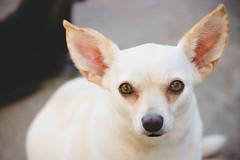 Homeward Bound (Olizwell) Tags: dog mocha chihuahua foster big ears tan white leon littledoglaughedstories