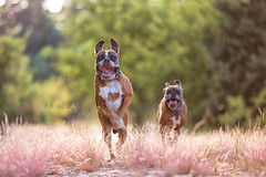 27/52 Oh happy day (Kerstin Mielke) Tags: kurt 52weeksfordogs boxerdog running happiness fast first