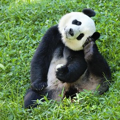 Morning at the zoo. (C JRCook) Tags: fonz giantpandabear malepanda smithsonianzoo nationalzoo beibei washingtondc panda