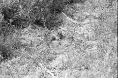 Good Camouflage (pmvarsa) Tags: summer 2018 june analog bw blackandwhite film 135 ilford ilfordfp4plus fp4 fp4plus 125iso nikonsupercoolscan9000ed nikon coolscan manfrotto sekonic cans2s pentax spotmatic pentaxspotmatic classic camera takumar 300mm telephoto knowledge teaching education passonknowledge knowledgetransfer outdoor neighbourhood grass rabbit hare camouflage wildlife flat depth waterloo ontario canada