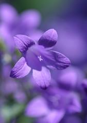 Campanula (haberlea) Tags: garden campanula blue flowers mygarden plants nature