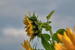 Sunflower Beauty (W_von_S) Tags: sunflower sonnenblume beauty beautiful schön schönheit natur nature yellow gelb grün green plant pflanze sony sonyilce7rm2 wvons werner outdoor makro blume blossom blüte
