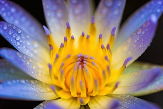Water Lily @ Home