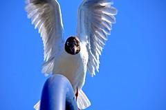 Ailes haut ou Hello ? (Diegojack) Tags: morges vaud suisse d7200 nikon nikonpassion oiseaux contreplongée mouettes ailes hello