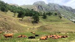 Savoie S004. (Joanbrebo) Tags: fauna faune animales animals landscape paisatge paisaje naturaleza nature natura vaques cows vacas iphone365 iphonex france savoie leschapieux