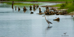 I saw two little shorebirds on the muddy edge in the way back. It's my excuse and I'm sticking to it! (AnthonyVanSchoor) Tags: anthonyvanschoor maryland usa great blue heron blackwaternationalwildliferefuge