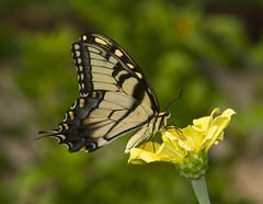 Eastern Tiger Swallowtail, male (Papilio glaucus) (AllHarts) Tags: maleeasterntigerswallowtailpapilioglaucus dixongardens memphistn butterflygallery nature naturesspirit thesunshinegroup naturescarousel ngc npc