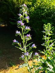 Ich brauche keine Blumen - ich hab Unkraut! (claudine6677) Tags: pflanzen unkraut kräuter sonne sommer blumen blüten weeds plants summer flowers blossoms
