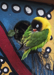 Lovebird Colours (fantommst) Tags: lisaridings fantommst auckland zoo nz newzealand bird aviary yellowcollared lovebird agapornispersonatus masked eyering parrot colourful colorful green
