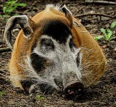 Red River Hog named Bella. (pitkin9) Tags: animal redriverhog yorkshirewildlifepark england