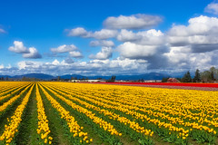 Tulips and Clouds (dougbank) Tags: outdoors outside washington flowers artsy horizontal landscape landscapes plants bluesky clouds yellow hdr aurorahdr