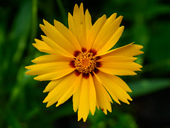 A yellow daisy (Raoul Pop) Tags: garden morning spring color flowers plants daisies home daisy yellow macro