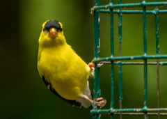 Goldfinch (2) (tommaync) Tags: wildlife birds nature feeder nikon d7500 may 2018 chathamcounty nc northcarolina goldfinch finch yellow black beak