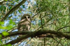 iStare (gdajewski) Tags: afsnikkor55300mmf4556gedvr d7000 nikkor55300mmf4556g nikond7000 park owl tree barredowl barred bird gdajewski dajewski bokeh
