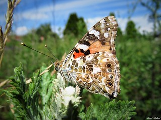 Butterfly 1688