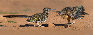Greater Roadrunners