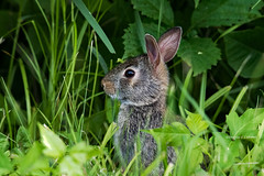 Polk County,Iowa June 9, 2018 (Doug Lambert) Tags: young bunny rabbit animal mammal wildlife nature spring polkcounty iowa midwest canon7dmarkii tamron150600