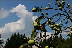 Bald ist es soweit. (der bischheimer) Tags: apfel obst himmel wolken clouds baum tree canon derbischheimer