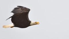 DSC_3318_edit (Hanzy2012) Tags: tofino wildlife bird baldeagle pacificrimnationalpark combersbeach haliaeetusleucocephalus bc britishcolumbia vancouverisland canada nature wild